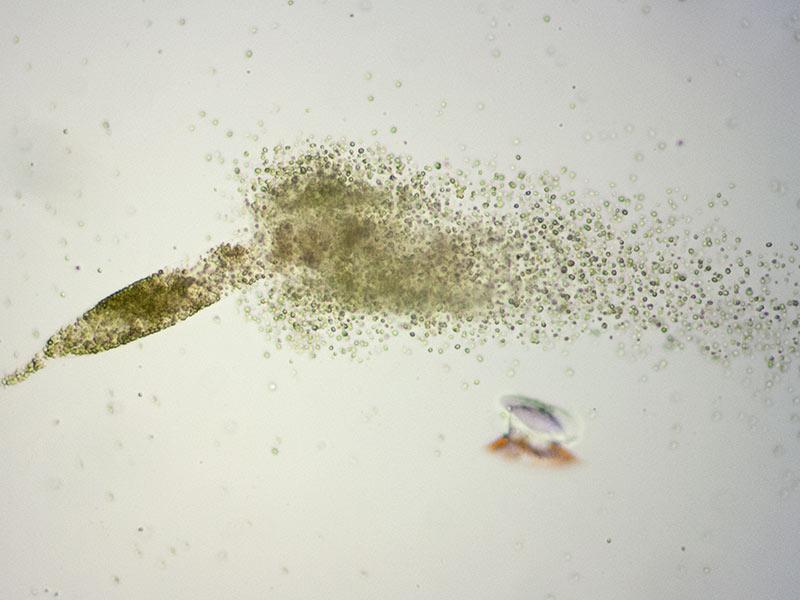 algenwachstum in salzwasser