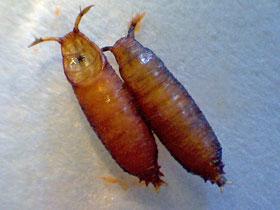 kakerlakenparade taufliege drosophila beschreibung und zucht. Black Bedroom Furniture Sets. Home Design Ideas