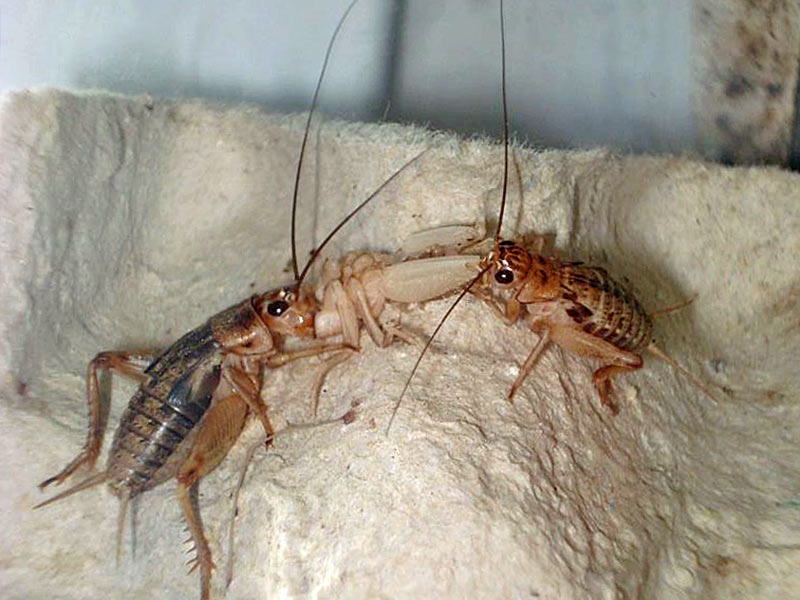 Kakerlakenparade Heimchen Acheta Domesticus